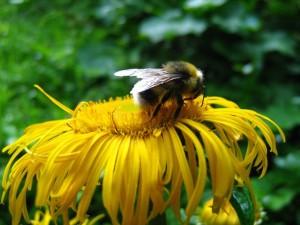 In cautarea de polen Parcul National Buila-Vanturarita foto Huidu Magdalena